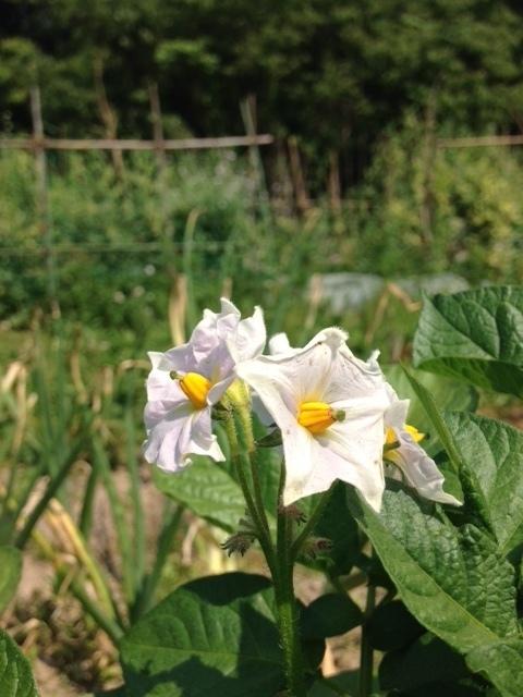 160524湧き水ジャガイモの花.JPG
